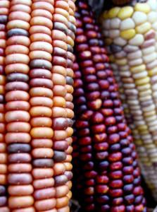 corn33(1)